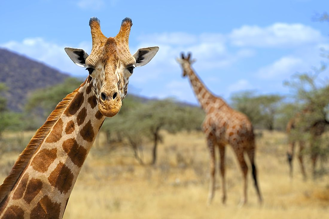 A giraffe poses for the camera in Amboseli National Park, Kenya. Photo credit: shutterstock.com.