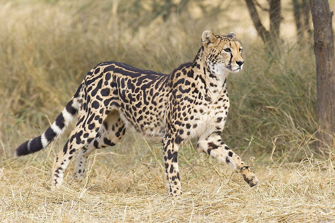 Female king cheetah with its distinctive fur pattern.