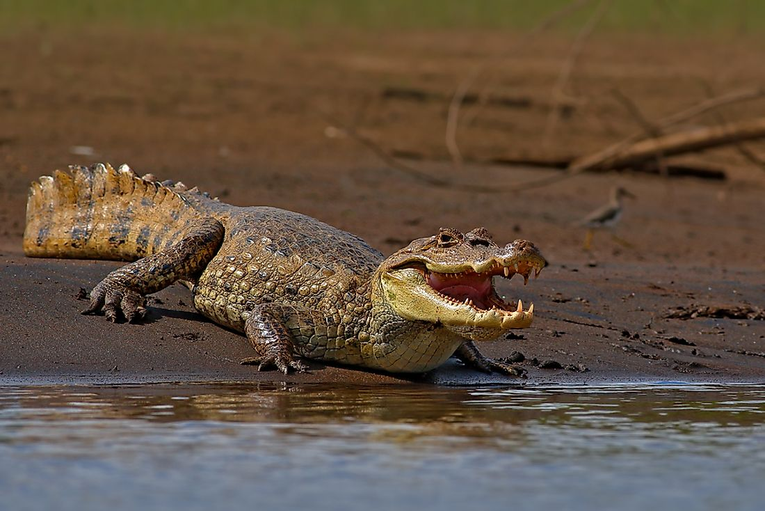 Crocodiles are semiaquatic reptiles that live in freshwater or saltwater habitats.