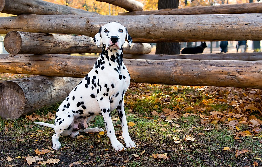 Why has the Dalmatian breed been so long associated with fire stations?