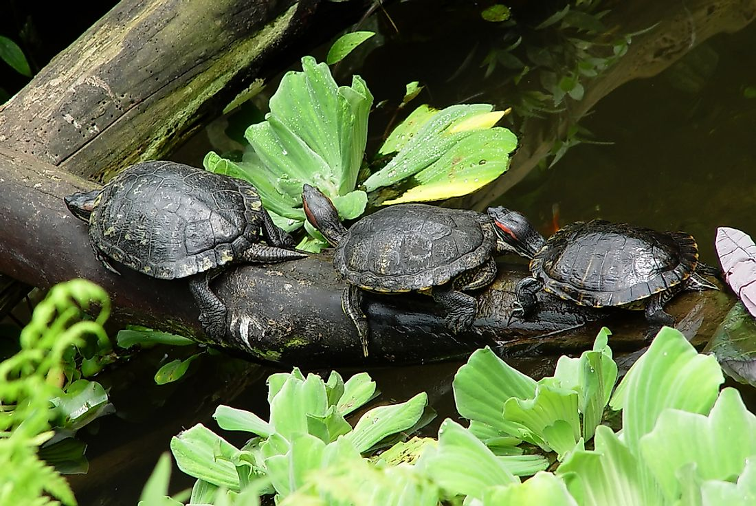 Red-eared sliders compete with the native turtles for habitat, food, and other resources.