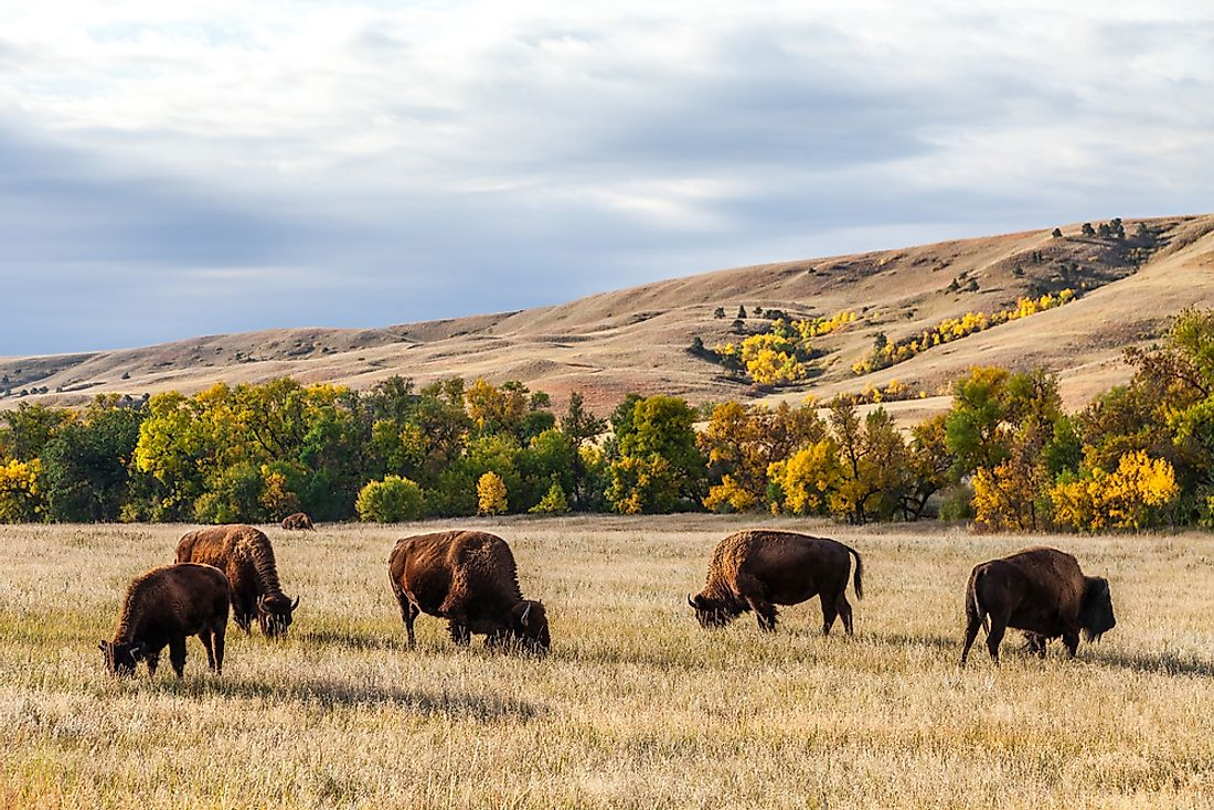 Buffaloes graze in Custer State Park, located in the picturesque Black Hills of South Dakota.