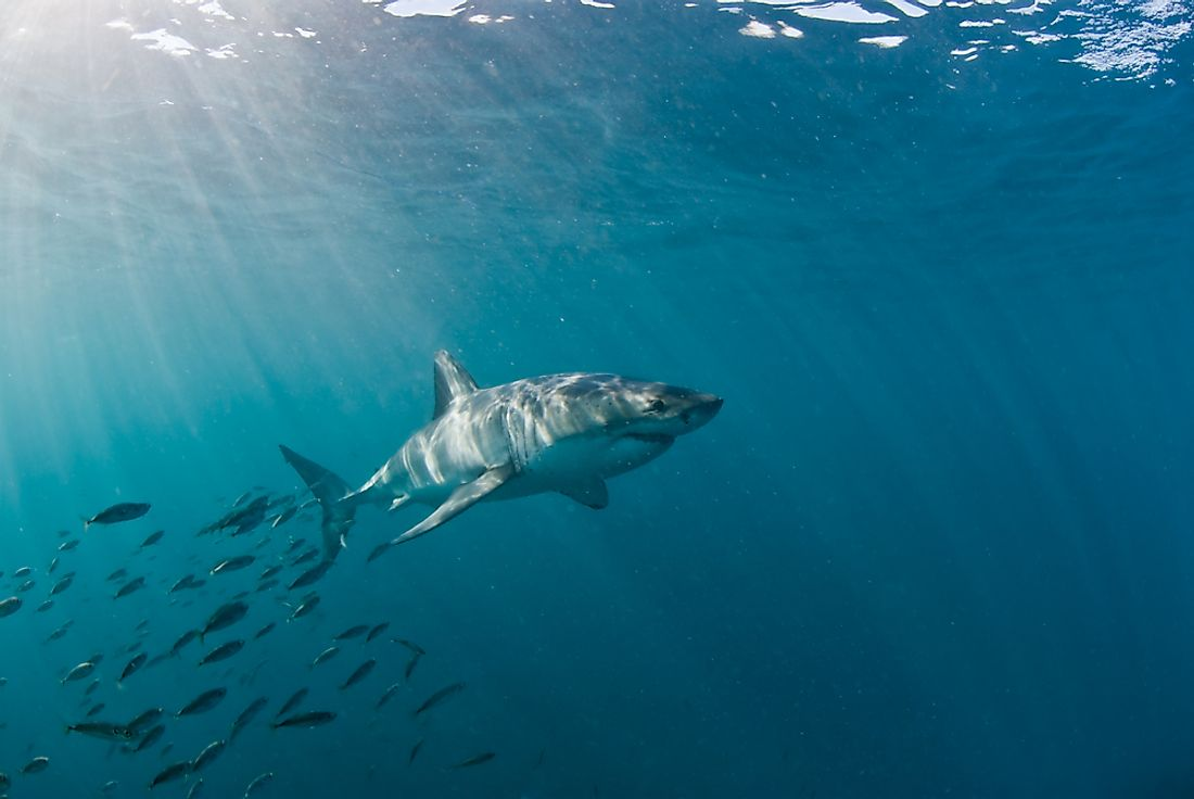 The IUCN Red List classifies the great white shark as vulnerable.