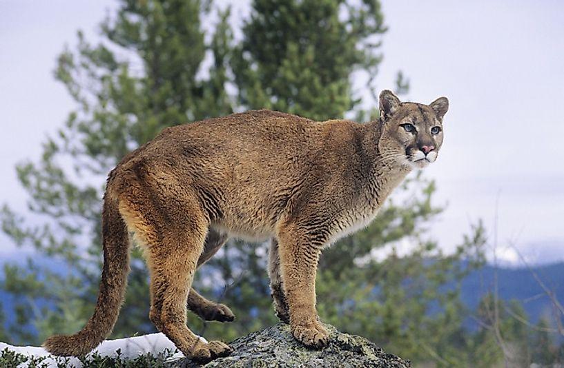 #3 Mountain Lion