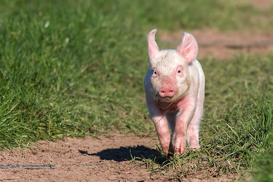 A pig is seen in a cage-free environment.