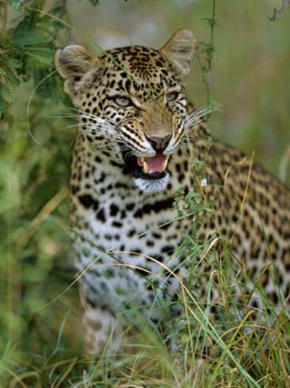 Female Leopard, Sabi Sands Game Reserve, South Africa