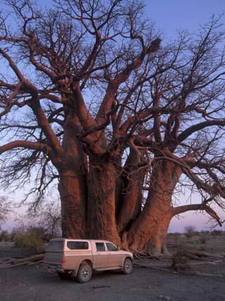 Chapman's Baobab, Makgadikgadi Pans National Park, Botswana, Africa