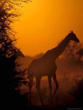 Southern Giraffe and Acacia Tree, Moremi Wildlife Reserve, Botswana