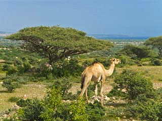 Camel on the Outskirts of Djibouti, Republic of Djibouti, Africa