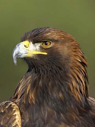 Golden Eagle (Aquila Chrysaetos) Adult Portrait, Cairngorms National Park, Scotland, UK