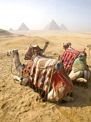 Resting Camels Gaze Across the Desert Sands of Giza, Cairo, Egypt