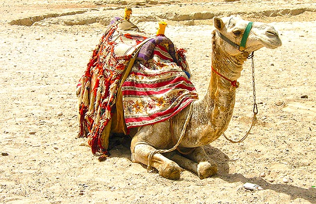 camel giza pyramids