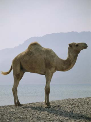 Dromedary Camel Near Neweiba Oasis