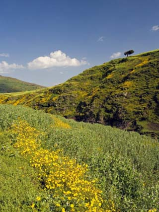 Lush Green Hills and Yellow Meskel Flowers, Simien Mountains National Park, the North, Ethiopia
