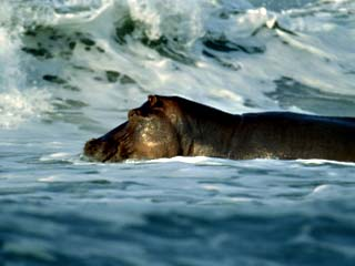 Hippopotamus Swimming in the Atlantic off of Gabons Coast