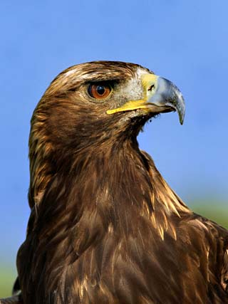 Golden Eagle Portrait, Captive, Aquila Chrysaetos