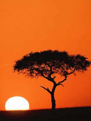 Accacia Tree Silhouetted at Sunrise, Masai Mara Game Reserve, Kenya