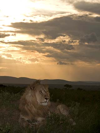 African Lion Sitting on the Savanna at Sunset (Panthera Leo), Masai Mara, Kenya