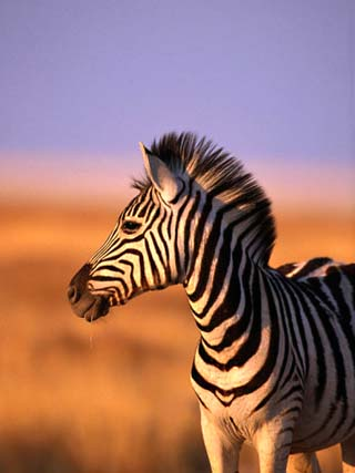 Portrait of Young Burchells Zebra (Equus Burchelli), Etosha National Park, Namibia