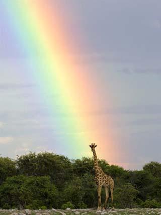 Giraffe, at End of Rainbow, Etosha National Park, Namibia