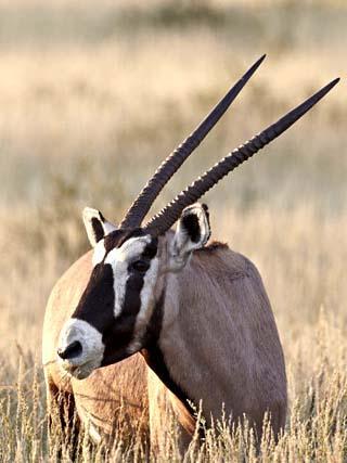 Gemsbok (South African Oryx) (Oryx Gazella) Eating, Kgalagadi Transfrontier Park, Encompassing the