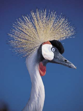 Close-Up of the Head of a Black Crowned Crane, Lake Naivasha National Park, Kenya