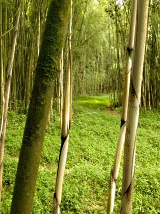 Bamboo Forest, Rwanda