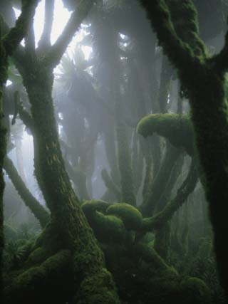 Fog-Enshrouded Rain Forest in Rwanda's Virunga Mountains