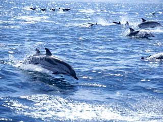 Group of Striped Dolphins Swimming, Strait of Gibraltar, Costa De La Luz, Spain