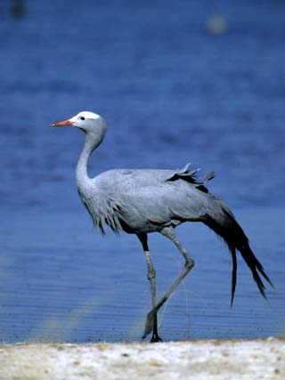 Blue Crane, Anthropoides Paradisea, Etosha National Park, Namibia, Africa