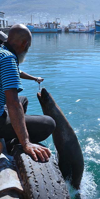 feeding seals in hout bay