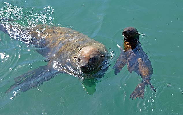 seal in the cape hout harbor