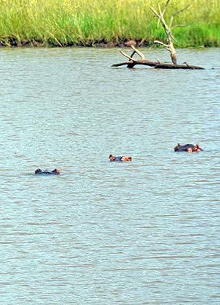 hippos south africa
