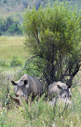 rhinos in the bush south africa