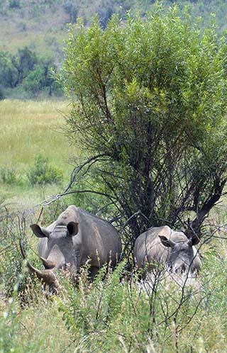rhinos in the bush south africa