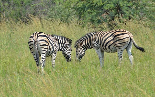 zebras south africa