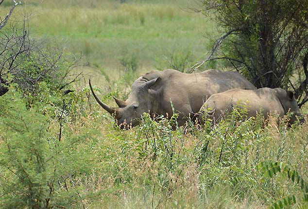 white rinos south africa