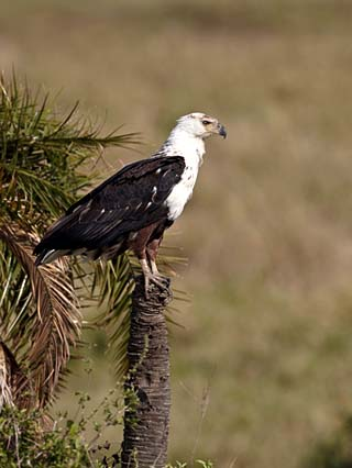 African Fish Eagle (Haliaeetus Vocifer), Serengeti National Park, Tanzania, East Africa, Africa