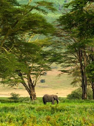 African Elephant in Ngorongoro Crater in Ngorongoro Conservation Area