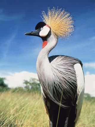Grey crowned crane