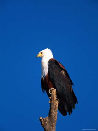 An African Fish Eagle