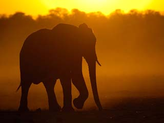 African Elephant at Sunset, Makalolo Plains, Hwange National Park, Zimbabwe