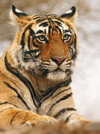 Royal Bengal Tiger Watching, Ranthambhor National Park, India