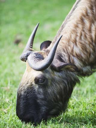 Takin, National Animal of Bhutan, Motithang Takin Preserve, Thimphu, Bhutan, Asia