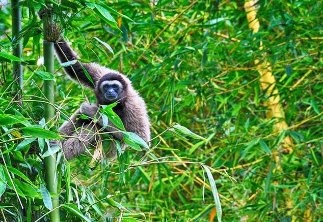 malay gibbon malaysia