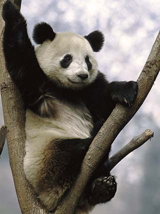 Giant Panda (Ailuropoda Melanoleuca) Endangered, in Tree, Wolong Valley, China