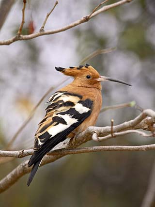 African Hoopoe, Kruger National Park, South Africa, Africa