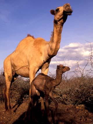 Dromedary Camel, Mother and Baby, Nanyuki, Kenya
