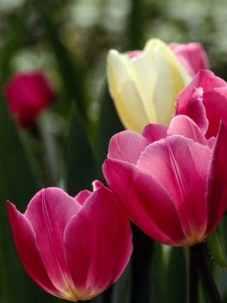Close-up of Blooming Tulips