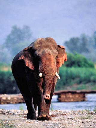 Large Tusked Elephant Walking